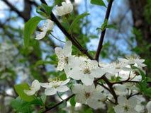 Κλάδος δέντρων της Apple με τα ανθίζοντας άνθη Στοκ Εικόνες