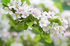 Κλάδος δέντρων της Apple με τα καθαρά άσπρα άνθη Στοκ Εικόνες
