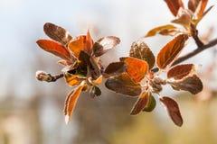 Κλάδος δέντρων της Apple με τα κόκκινα φύλλα Τοπίο κήπων άνοιξη στρέψτε μαλακό Στοκ Εικόνα