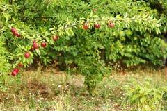 Κλάδος δέντρων της Apple με τα μήλα στη φύση Στοκ Εικόνες