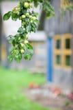 Κλάδος δέντρων της Apple με τα μήλα στο σπίτι μετά από τη βροχή Στοκ εικόνες με δικαίωμα ελεύθερης χρήσης