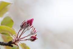 Κλάδος δέντρων της Apple με τα νέα κόκκινα λουλούδια Μακρο έννοια φύσης, χρόνος άνοιξη στον κήπο ρηχό βάθος του τομέα, αντίγραφο Στοκ Φωτογραφίες