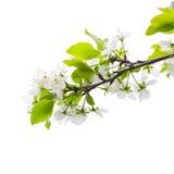 Κλάδος δέντρων της Apple με τα λουλούδια που απομονώνονται στο λευκό Στοκ Εικόνα
