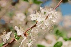Κλάδος δέντρων της Apple με τα λουλούδια Στοκ Εικόνες