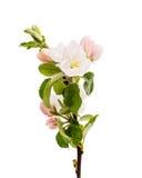 Κλάδος δέντρων της Apple με τα λουλούδια Στοκ Εικόνα