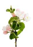 Κλάδος δέντρων της Apple με τα λουλούδια Στοκ εικόνες με δικαίωμα ελεύθερης χρήσης