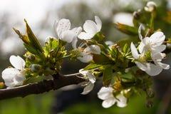 Κλάδος δέντρων της Apple με τα λουλούδια Στοκ εικόνα με δικαίωμα ελεύθερης χρήσης