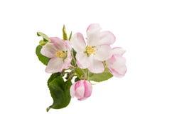 Κλάδος δέντρων της Apple με τα λουλούδια Στοκ φωτογραφία με δικαίωμα ελεύθερης χρήσης