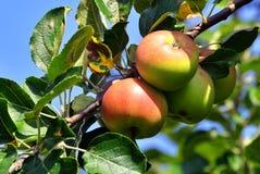 Κλάδος δέντρων της Apple με τα φρέσκα juicy φρούτα Στοκ Εικόνες