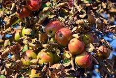 Κλάδος δέντρων της Apple με τα φρέσκα juicy φρούτα Στοκ Φωτογραφία