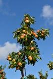 Κλάδος δέντρων της Apple με τα ώριμα φρούτα σε ένα υπόβαθρο του μπλε ουρανού Στοκ Φωτογραφία