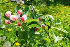 Κλάδος δέντρων της Apple με τους οφθαλμούς Στοκ Εικόνες
