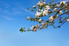 Κλάδος δέντρων της Apple που απομονώνεται στο υπόβαθρο μπλε ουρανού Στοκ Φωτογραφία