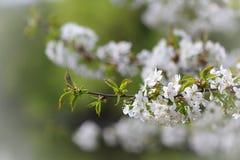 Κλάδος δέντρων της Apple στην άνθιση την άνοιξη Στοκ φωτογραφία με δικαίωμα ελεύθερης χρήσης