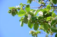 Κλάδος δέντρων της Apple στο άνθος στο υπόβαθρο ουρανού Στοκ εικόνα με δικαίωμα ελεύθερης χρήσης