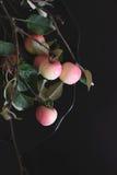 Κλάδος δέντρων της Apple στο μαύρο πιάτο στον πίνακα Στοκ φωτογραφίες με δικαίωμα ελεύθερης χρήσης