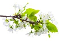 Κλάδος δέντρων της Apple τα άσπρα λουλούδια που απομονώνονται με Στοκ Εικόνες