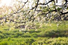 Κλάδος δέντρων της Apple της άνθισης με τον ήλιο Στοκ φωτογραφία με δικαίωμα ελεύθερης χρήσης