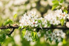 Κλάδος δέντρων της Apple της άνθισης με τον ήλιο Στοκ Εικόνες