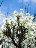 Κλάδος δέντρων της Apple Στοκ Φωτογραφίες