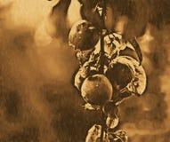 Κλάδος δέντρων της Apple Στοκ Εικόνες