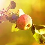Κλάδος δέντρων της Apple Στοκ εικόνες με δικαίωμα ελεύθερης χρήσης