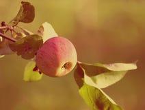 Κλάδος δέντρων της Apple Στοκ εικόνα με δικαίωμα ελεύθερης χρήσης