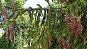 Κλάδος δέντρων του FIR με τους κώνους, σε αργή κίνηση απόθεμα βίντεο