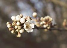 Κλάδος ανθών της Apple με τα βλαστάνοντας λουλούδια Στοκ Φωτογραφία