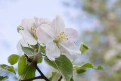 Κλάδος ανθών της Apple Στοκ Φωτογραφία