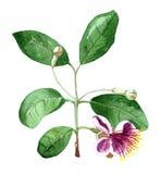 Κλάδος ανθών Feijoa, λουλούδι feijoa Στοκ Εικόνες