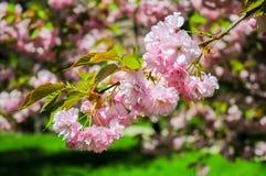 Κλάδος ανθών Sakura Στοκ Εικόνα