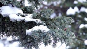 Κλάδος γούνα-δέντρων με το χιόνι απόθεμα βίντεο