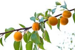 Κλάδος ενός δέντρου βερικοκιών με τα ώριμα φρούτα Στοκ Εικόνα