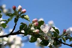 Κλάδος ενός δέντρου μηλιάς την άνοιξη Στοκ Εικόνα