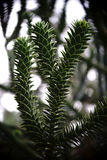 Κλάδος ενός δέντρου πίθηκος-γρίφων Στοκ εικόνες με δικαίωμα ελεύθερης χρήσης