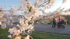 Κλάδος ενός ανθίζοντας δέντρου κερασιών με τα όμορφα ρόδινα λουλούδια πεδίο βάθους ρηχό φιλμ μικρού μήκους