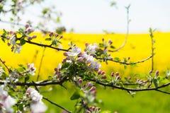Κλάδος ενός ανθίζοντας δέντρου μηλιάς Στοκ εικόνα με δικαίωμα ελεύθερης χρήσης