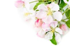 Κλάδος ενός ανθίζοντας Apple-δέντρου σε ένα άσπρο υπόβαθρο Στοκ φωτογραφίες με δικαίωμα ελεύθερης χρήσης