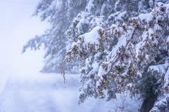 Κλάδος ιουνιπέρων που καλύπτεται με το χιόνι στην εστίαση ανασκόπηση ομιχλώδης Ρωσία, Stary Krym Στοκ εικόνες με δικαίωμα ελεύθερης χρήσης