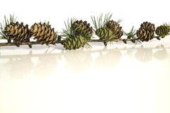 Κλάδος και κώνοι δέντρων αγριόπευκων Στοκ Φωτογραφίες