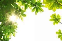Κλάδος και πράσινα φύλλα Στοκ Φωτογραφίες
