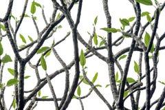Κλάδος και φύλλα plumeria Frangipani Στοκ Εικόνες