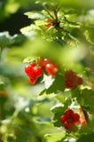 Κλάδος κόκκινων σταφίδων με τα μούρα Δέσμες των κόκκινων μούρων σε Gueld Στοκ φωτογραφίες με δικαίωμα ελεύθερης χρήσης