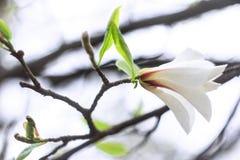 Κλάδος με ένα άσπρο λουλούδι Στοκ Εικόνες