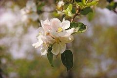 Κλάδος με τα άνθη μήλων Στοκ Φωτογραφία