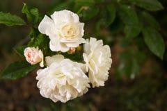 Κλάδος με τα άσπρα τριαντάφυλλα με τις πτώσεις της δροσιάς σε ένα υπόβαθρο της πράσινης χλόης Άσπρα τριαντάφυλλα με τη δροσιά σε  στοκ φωτογραφίες