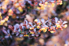 Κλάδος με τα καφετιά φύλλα και τα κίτρινα λουλούδια Στοκ Εικόνες