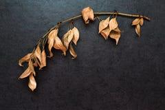 Κλάδος με τα ξηρά φύλλα Στοκ Εικόνα