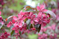 Κλάδος με τα λουλούδια ενός διακοσμητικού Apple-δέντρου, ένας βαθμός βασιλικού Στοκ Εικόνες